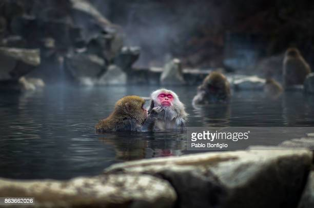 bathing snow monkeys at jigokudani snow monkey park - primate stock pictures, royalty-free photos & images