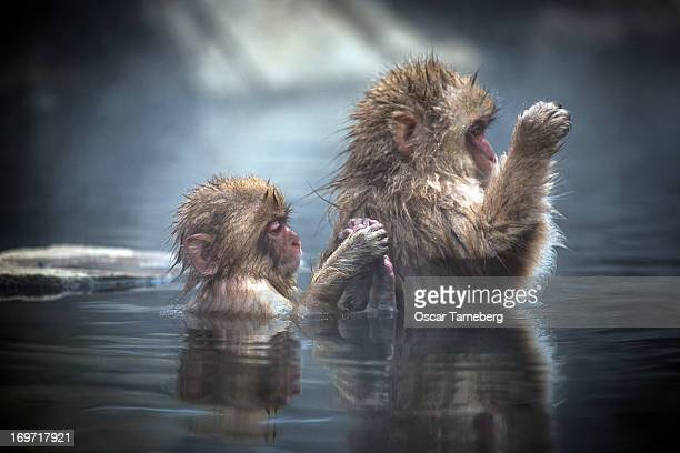 Bathing snow monkeys