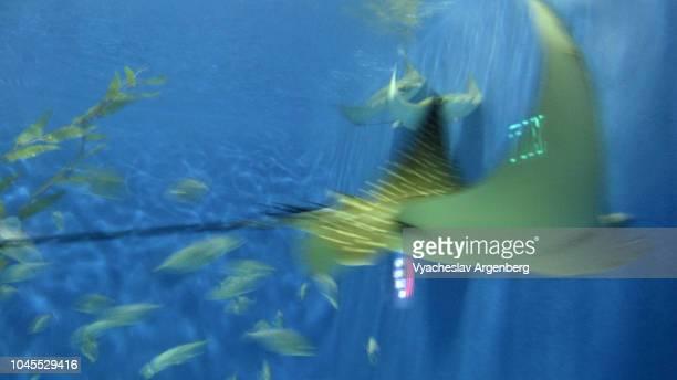batoidea ray (skate) flying in sea water - argenberg fotografías e imágenes de stock