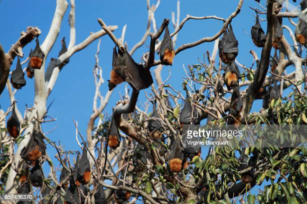 bats, aka flying foxes on branches - flying fox stock pictures, royalty-free photos & images