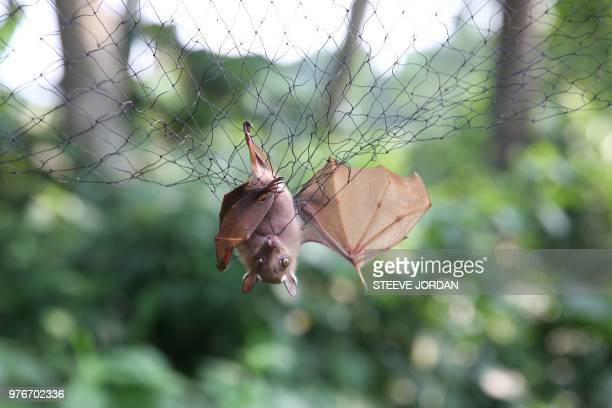 Bats are trapped in nets to be examined for possible viruses load at the Franceville International Centre of Medical Research is seen on June 13 2018...
