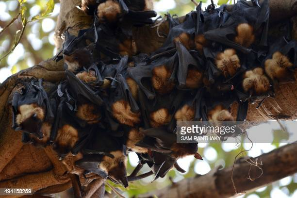 Bats cling onto the branches of a Banyan tree on the campus of Gujarat College in Ahmedabad on May 28 2014 Due to the heatwave conditions in Gujarat...