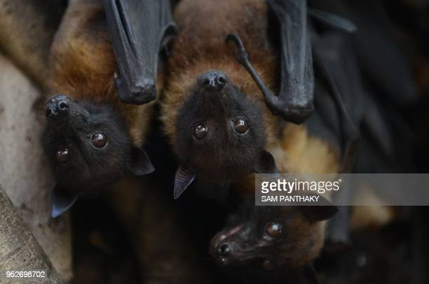 Bats cling onto the branches of a banyan's tree on the campus of Gujarat College in Ahmedabad on April 29 2018 Due to the heatwave like conditions in...