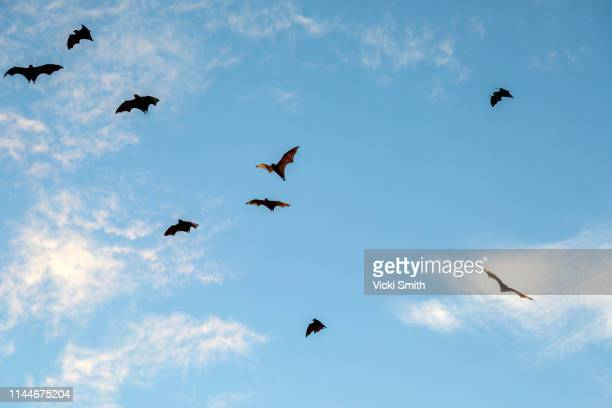 bats flying against a blue sky - bat animal stock pictures, royalty-free photos & images