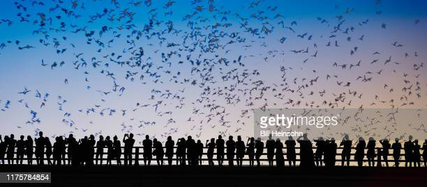 bats flying over bridge - irving texas stock pictures, royalty-free photos & images
