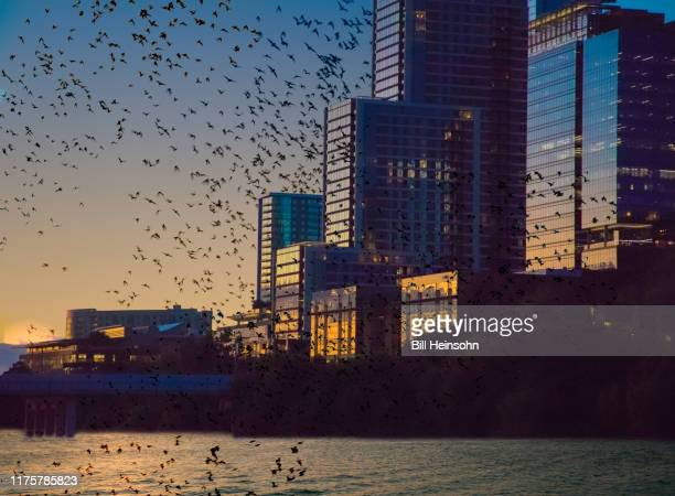 bats flying over lake with cityscape - irving texas stock pictures, royalty-free photos & images