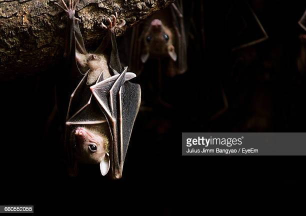 Bats Hanging On Branch