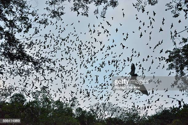 Bats leaving cave to feed at sunset, Calakmul Biosphere Reserve, Campeche, Mexico