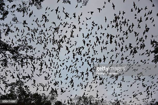 bats leaving cave to feed at sunset, calakmul biosphere reserve, campeche, mexico - colony group of animals stock photos and pictures