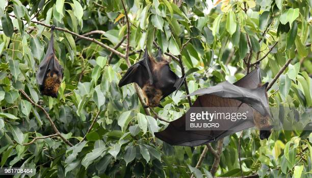 Bats take rest on trees in Guwahati on May 23 2018 A deadly virus carried by fruit bats has killed at least five people in southern India and more...