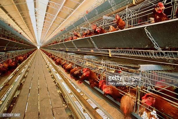 battery farming, rows of battery chickens - sfruttamento degli animali foto e immagini stock