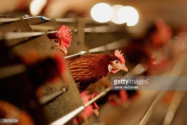 Battery hens sit in a chicken shed on February 6, 2007 in Suffolk, England. Russia, Ireland, Hong Kong, Japan, South Korea and South Africa have...