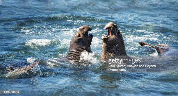Battle of the Elephant Seals at San Simeon
