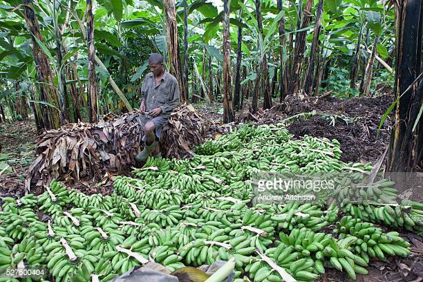 A Batwa tribesman man sorts plantain fruits ready for making plantain wine on the edge of the Bwindi Impenetrable Forest Uganda