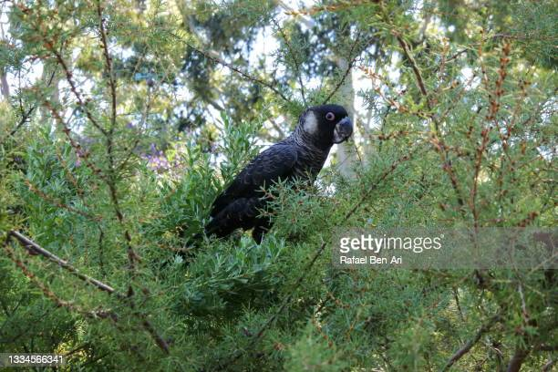 baudin's black cockatoo eating nuts from a local buh tree - rafael ben ari fotografías e imágenes de stock