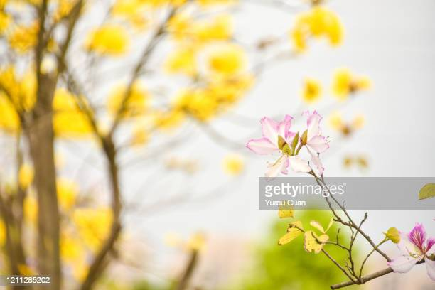 bauhinia flowers and golden trumpet tree ( tabebuia chrysantha, handroanthus chrysanthus, golden tree, yellow pui )  blooming in spring in the park. - handroanthus stock-fotos und bilder