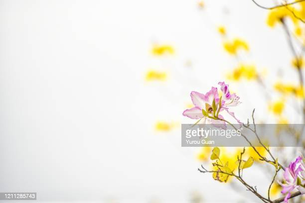 bauhinia flowers and golden trumpet tree ( tabebuia chrysantha, handroanthus chrysanthus, golden tree, yellow pui )  blooming in spring in the park. - handroanthus stock pictures, royalty-free photos & images