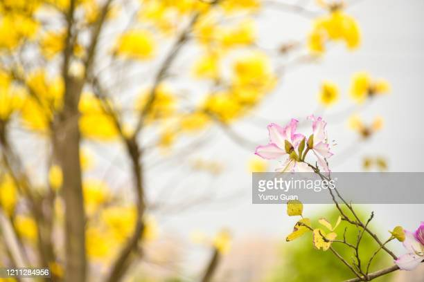 bauhinia flowers and golden trumpet tree flowers( tabebuia chrysantha, handroanthus chrysanthus, golden tree, yellow pui )  blooming in the park. - handroanthus stock-fotos und bilder