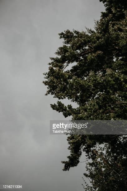 baum baumkrone mit bewölktem düsterem himmel - baum imagens e fotografias de stock