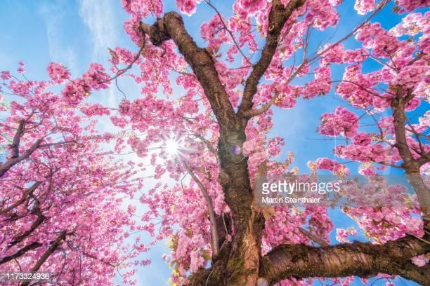 baum mit kirschblüten in voller pracht - baum stock pictures, royalty-free photos & images