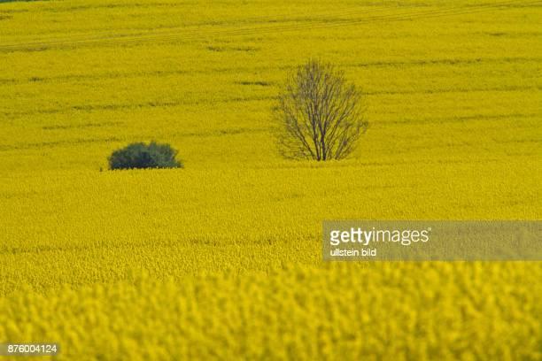 Baum und Strauch in gelb bluehendem Rapsfeld