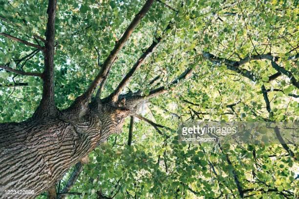 baum von unten - cima di albero foto e immagini stock