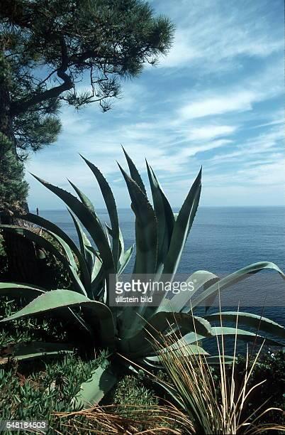 baumartige Aloe vor Küstenlandschaft der Costa Brava 1999
