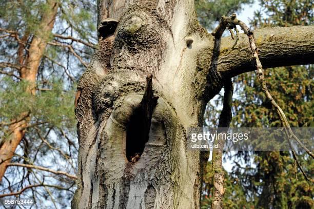 Baumhoehle im Stamm einer alten Rotbuche vermutlich als Spechthoehle entstanden bietet Unterschlupf und Wohnraum fuer Hoehlenbrueter und...