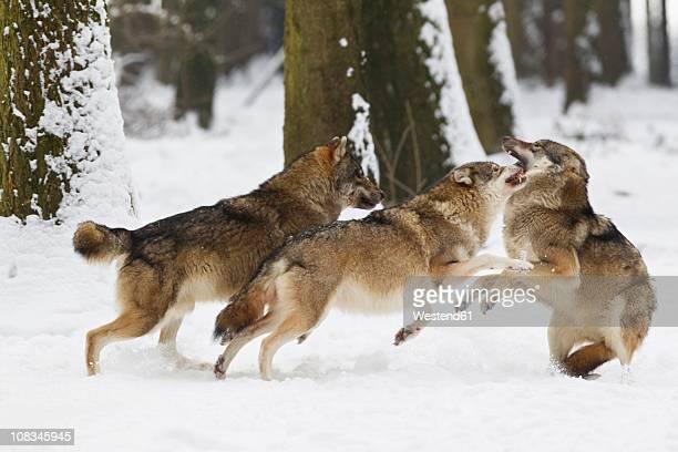 Bavaria, European wolfs fighting oin snow