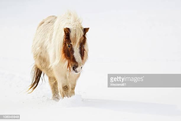Bavaria, Shetland pony walking in snow