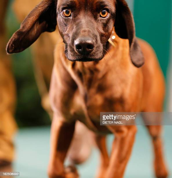 A bavarian bloodhound dog is pictured at the 'Hohe Jagd' hunting fair on February 24 2013 in Salzburg AFP PHOTO/DIETER NAGL
