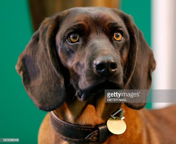 A Bavarian bloodhound is pictured at the 'Hohe Jagd' hunting fair on February 24 2013 in Salzburg Austria AFP PHOTO/DIETER NAGL