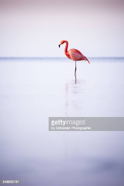 Bavarian Flamingo