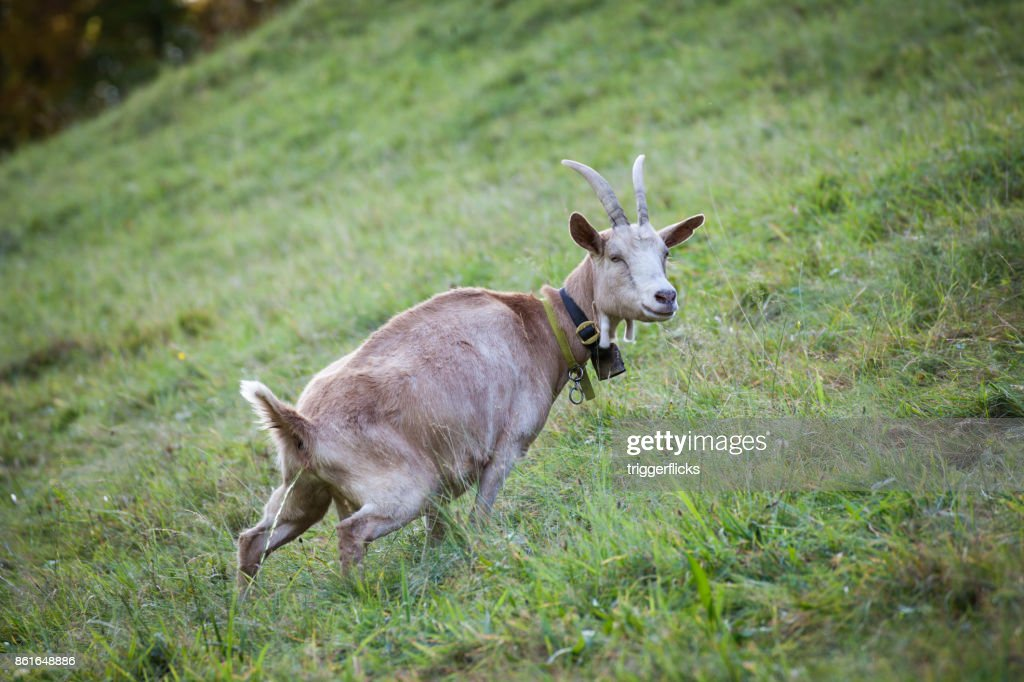 Male goats peeing on their heads, nude daphne scoby