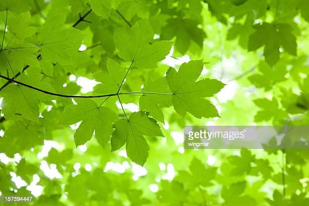 bavarian maple tree