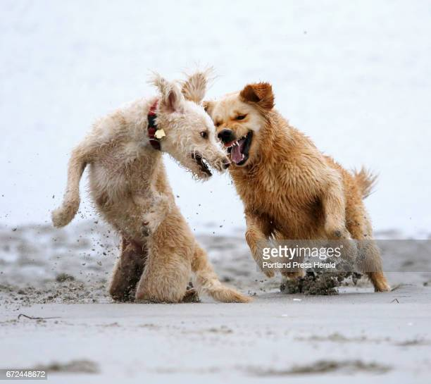 Labradoodle Stock Photos And Pictures