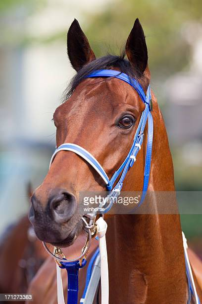 Bay Color Horse