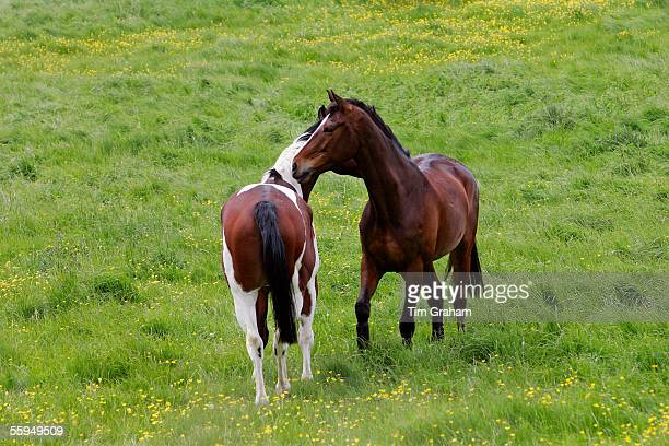 Bay horse and skewbald horse mutual grooming in a paddock Oxfordshire England
