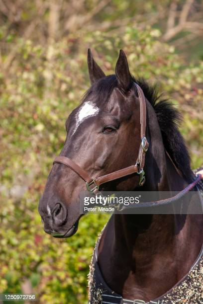 bay horse in a head collar and rug - windsor england stock pictures, royalty-free photos & images
