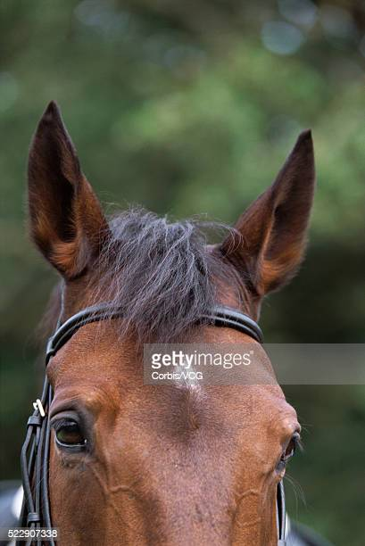 bay horse - bay horse stock photos and pictures