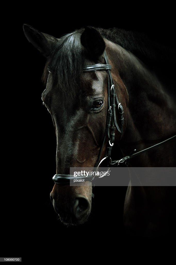 Bay Horse Portrait : Stock Photo