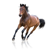 Bay horse runs on white background