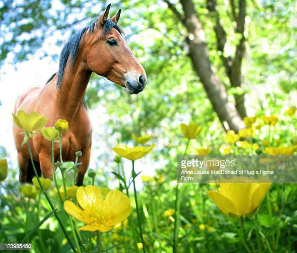 Bay horse with buttercups and tree