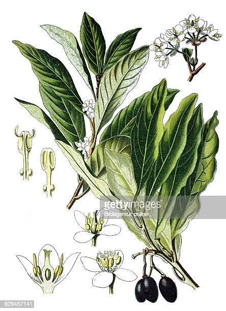 Bay laurel sweet bay bay tree laurus nobilis