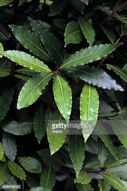 Bay laurel / Sweet bay leaves