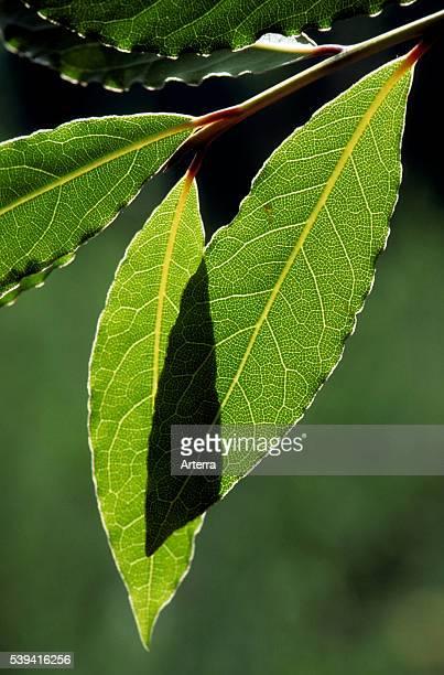 Bay laurel / Sweet bay leaves