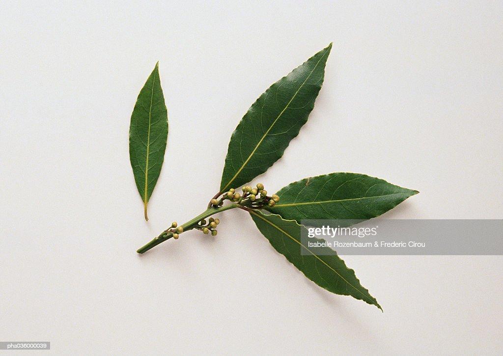 Bay leaves, white background : Stockfoto