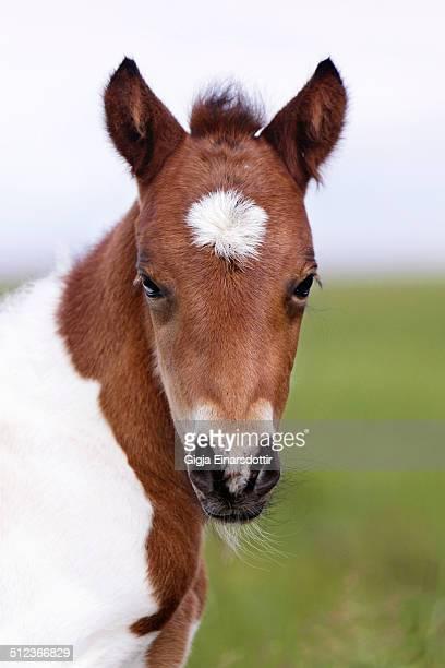 Bay Pinto foal