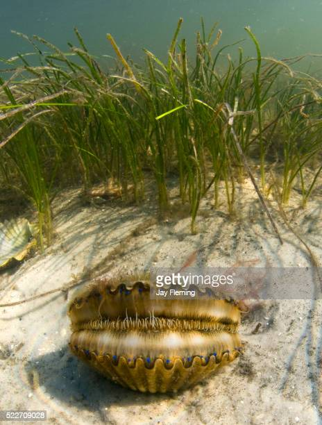 Bay Scallop Florida