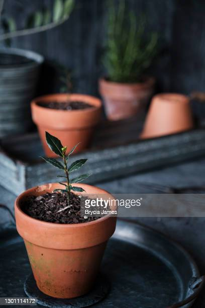 bay seedling in a terracotta pot - brycia james stock pictures, royalty-free photos & images